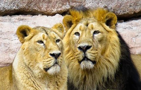 lion-1204817__340