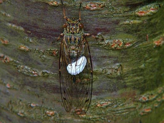 ツクツクボウシとセミヤドリガの幼虫