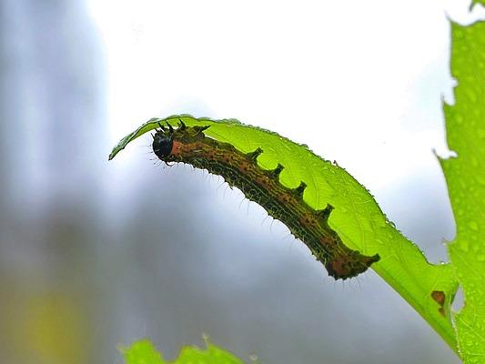 トビイロトラガ幼虫