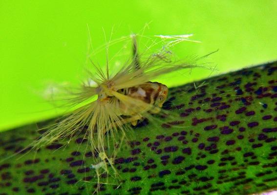 ベッコウハゴロモ(幼体)