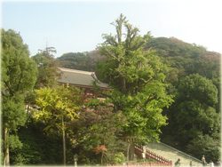 鶴岡八幡宮の大銀杏、見ごろまでもう少し。
