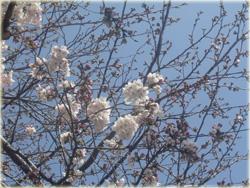 鎌倉桜開花♪