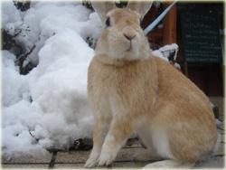 ボクは雪の中でも看板うさぎだよ〜
