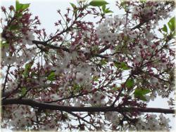 葉桜もいいですよね。