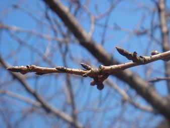 段葛の桜はつぼみ。