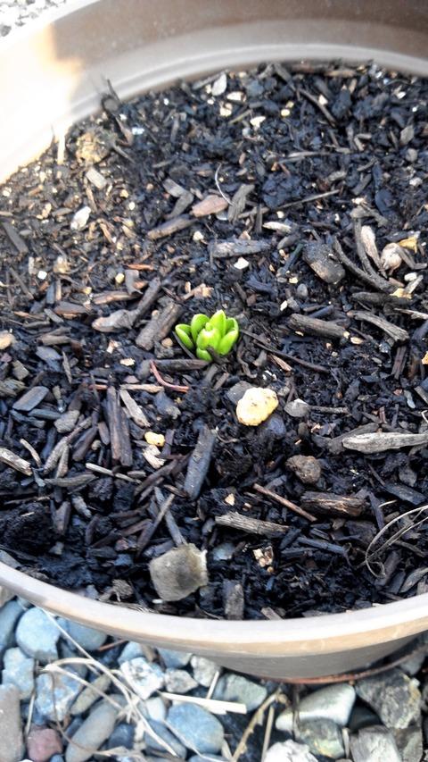 百合の新芽①