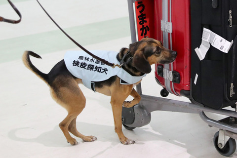 コロナ探知犬