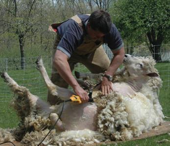 SheepShear
