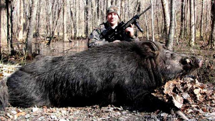 Big-pig-killed