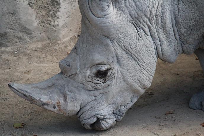rhinoceros-1806925_960_720