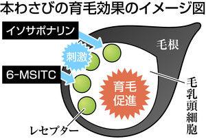 本わさびの育毛効果のイメージ図