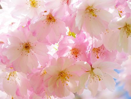 japanese-cherry-trees-6344_640