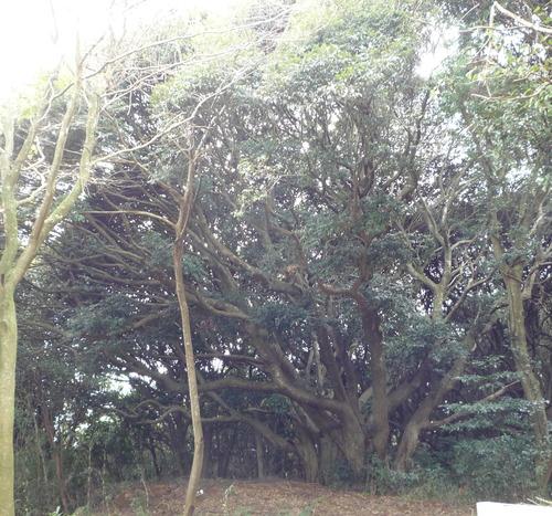 猿田 原生林