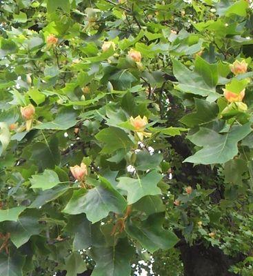 ユリの木の花