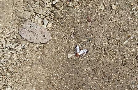 サングーイ前の蝶