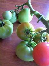 トマト枯れる