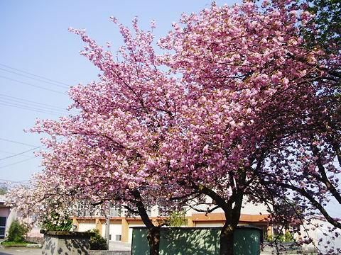 2012皆楽荘の桜 (1)