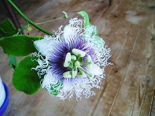 パッションフルーツの花 (1)