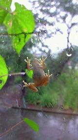 秋の雨ガエル