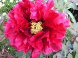 大きな大きな花です!