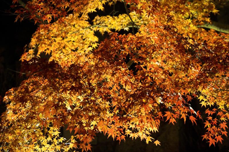 けいはんな記念公園_紅葉ライトアップ15_s.jpg