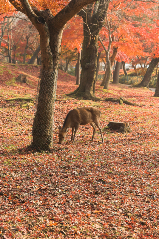 奈良公園の鹿と紅葉3_s.jpg