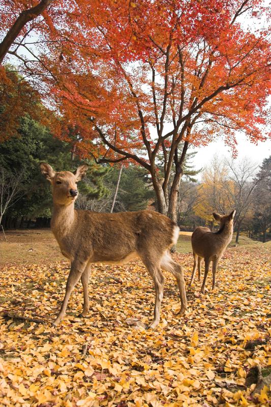 奈良公園の鹿と紅葉14_s.jpg