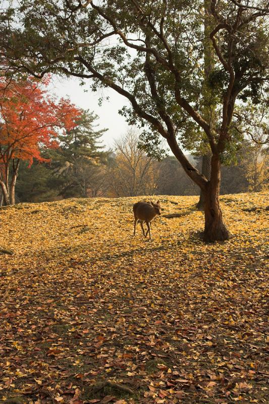 奈良公園の鹿と紅葉7_s.jpg