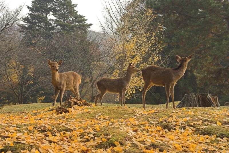 奈良公園の鹿と紅葉15_s.jpg