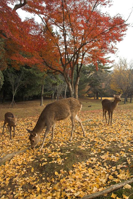 奈良公園の鹿と紅葉12_s.jpg