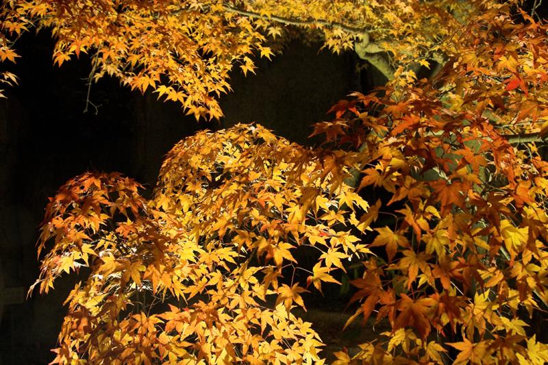 けいはんな記念公園_紅葉ライトアップ16_s.jpg