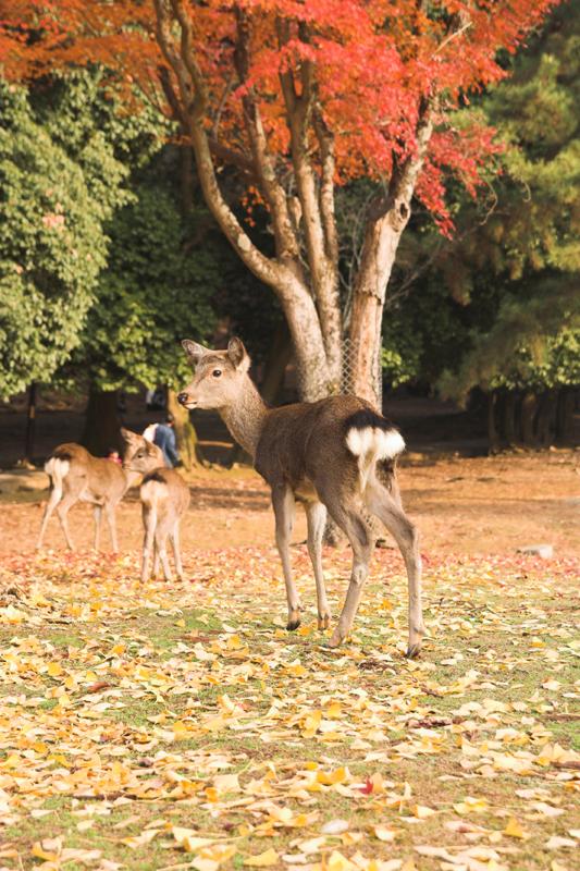 奈良公園の鹿と紅葉19_s.jpg