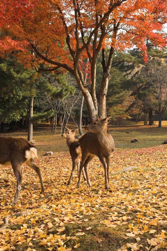 奈良公園の鹿と紅葉11_s.jpg