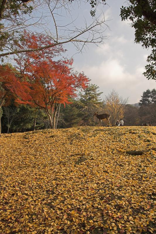 奈良公園の鹿と紅葉23_s.jpg