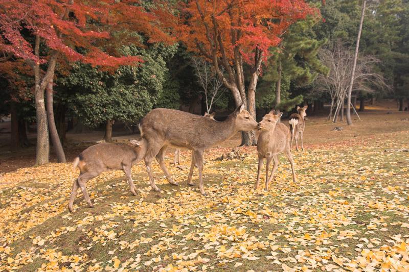 奈良公園の鹿と紅葉22_s.jpg