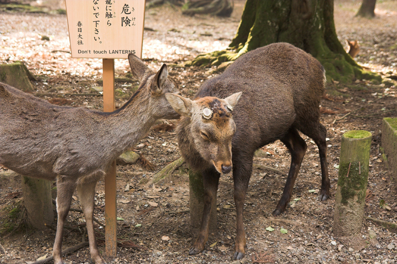 春日大社_鹿と紅葉17_s.jpg