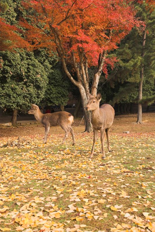 奈良公園の鹿と紅葉17_s.jpg