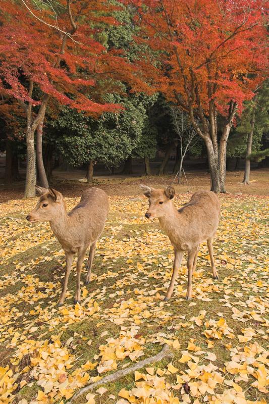奈良公園の鹿と紅葉21_s.jpg