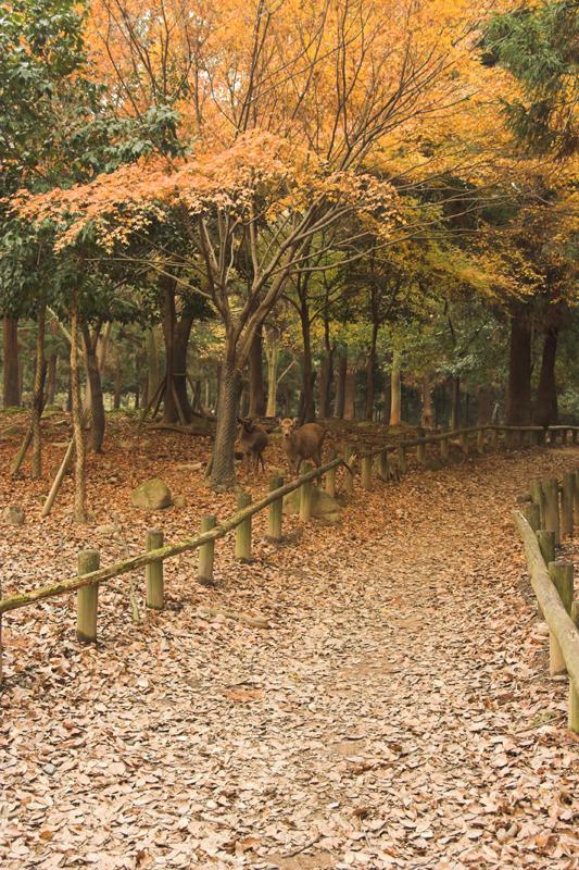 奈良公園の鹿と紅葉5_s.jpg