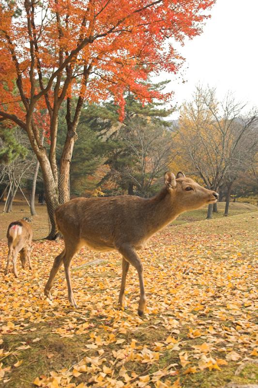 奈良公園の鹿と紅葉9_s.jpg