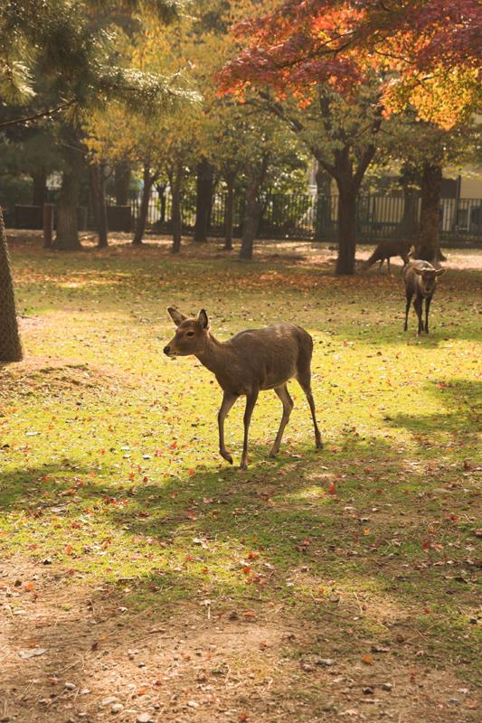奈良公園の鹿と紅葉4_s.jpg