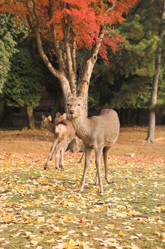 奈良公園の鹿と紅葉18_s.jpg