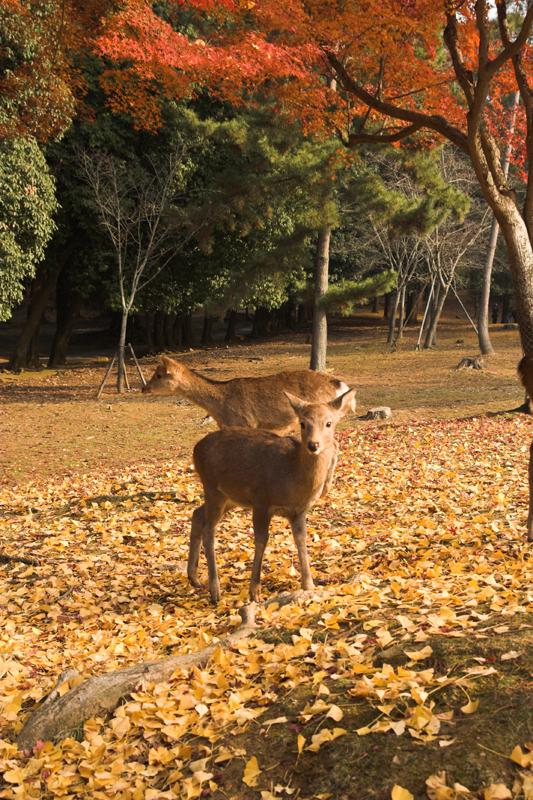 奈良公園の鹿と紅葉10_s.jpg