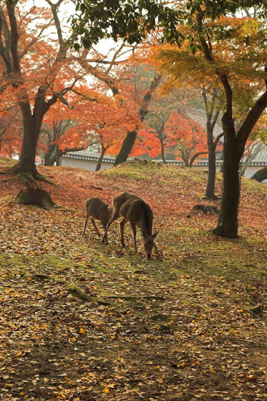 奈良公園の鹿と紅葉2_s.jpg