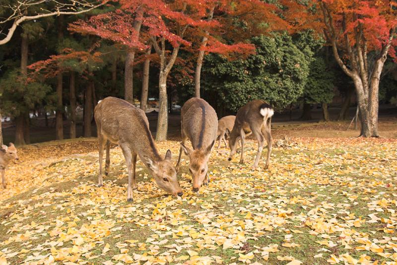 奈良公園の鹿と紅葉20_s.jpg