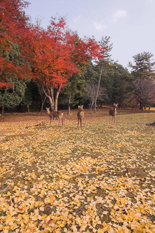 奈良公園の鹿と紅葉16_s.jpg