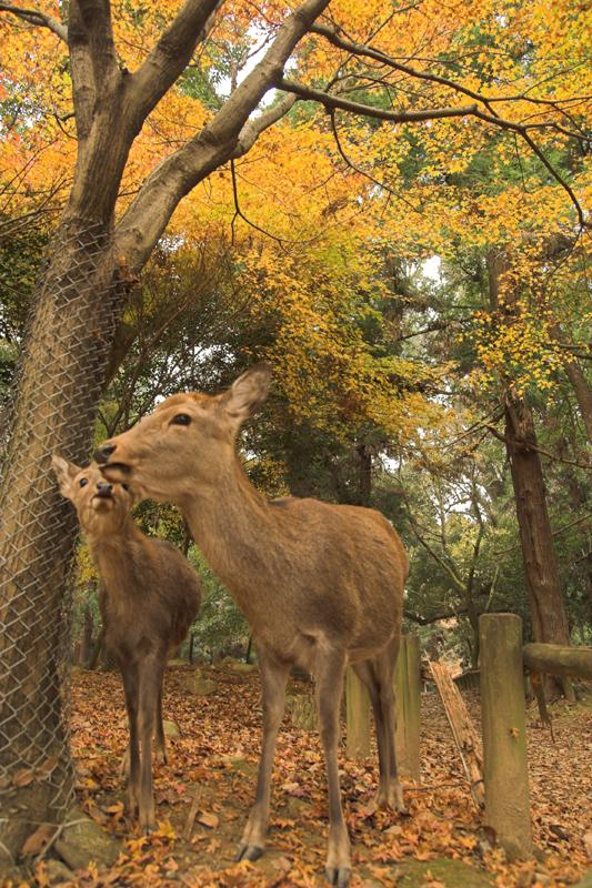 奈良公園の鹿と紅葉6_s.jpg