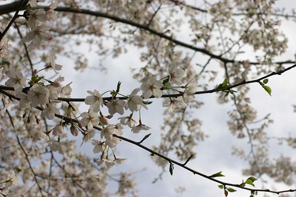 2006-03-29-022.jpg,桜