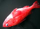 むっちりした真っ赤なキンキ一匹。