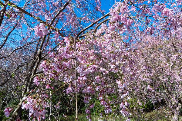 香貫山の三春滝桜2020-2